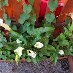 Цветы коттеджа №5